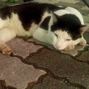 たこ焼き猫